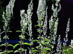 Salvia apiana (White Sage)P6145179 (T. Christensen) Tags: salviaapiana whitesage sage salvia californianatives