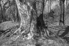 two trees (fallsroad) Tags: tulsaoklahoma tree trees bark texture fragment roots branches trunks riversidepark blackandwhite bw monochrome