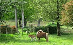 Mon petit poney (Sur mon chemin, j'ai rencontré...) Tags: nature poney animaux equidés