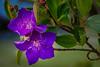 Pretty in Purple (Claude Downunder) Tags: flower flowers purple focusstack portmacquarie nsw australia flora
