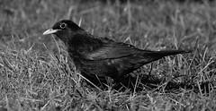 Black Bird (Antti Tassberg) Tags: bokeh kesä luonto bw ruoho lintu mustarastas backbird bird blackandwhite monochrome nature