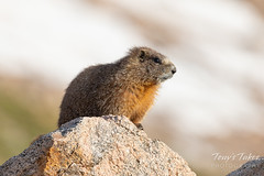 Yellow-bellied Marmot taking in the sun's warmth