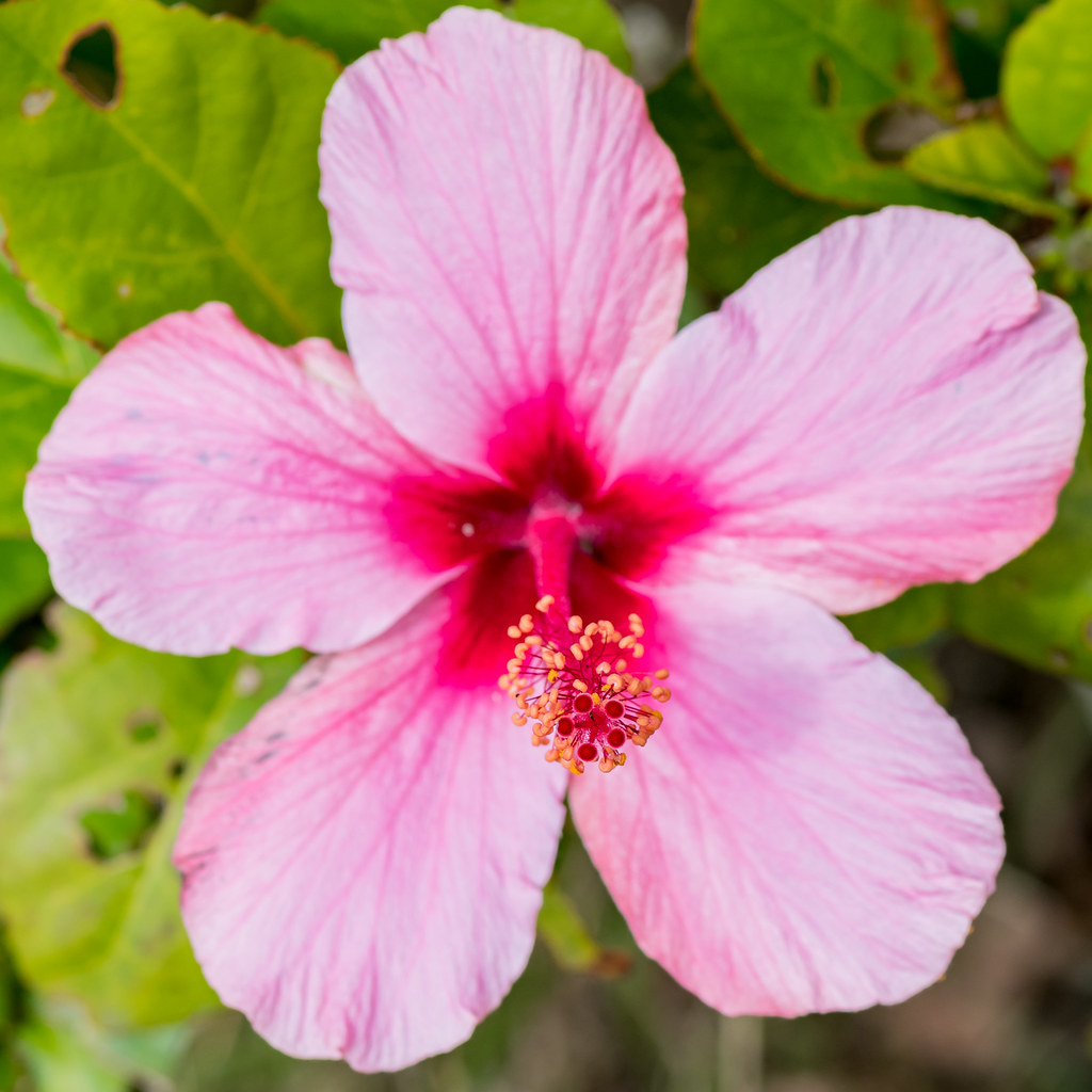 The Worlds Most Recently Posted Photos Of Hibiscus And Stamen