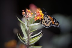 Connected (gsmper) Tags: butterfly monarch wildlife insect california garden colors sony sigma art mc11 sunlight bokeh nature flowers