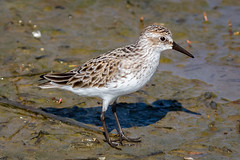 Semi-palmated Sandpiper (tresed47) Tags: 2018 201805may 20180509njwetlandsbirds birds canon7d content folder may newjersey peterscamera petersphotos places sandpiper season semipalmatedsandpiper shorebirds spring takenby us wetlandsinstitute
