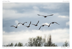 Vol de cormorans (BerColly) Tags: france auvergne puydedome larochenoire oiseau bird grandcormoran greatcormorant phalacrocoraxcarbo vol flight ciel sky nuages clouds etang pond bercolly google flickr