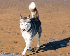 storm (RCB4J) Tags: ayrshire clydecoast firthofclyde irvinebeach jakob rcb4j ronniebarron scotland sigma150500mmf563dgoshsm sonyilca77m2 art babygrace beach dobermanterrier dogs fun photography play playing sand siameselurcher traile trailhound