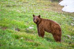Bear Season (Amy Hudechek Photography) Tags: black bear wyoming spring snow june nature wildlife amyhudechek nikond7100