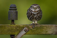 Little Owl (andy_harris62) Tags: littleowl owl bird animal nikon 1