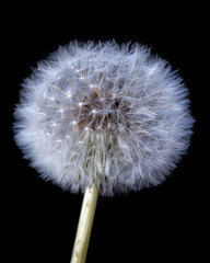 Dandelion (Crisp-13) Tags: dandelion taraxacum officinale head seeds flower clock