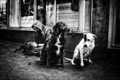 Les gardiens de la tranquillité... / The guardians of tranquility (vedebe) Tags: netb noiretblanc nb bw monochrome animaux chiens humain human homme ville city rue street urbain urban société social