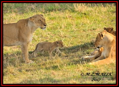 FEMALE LIONESS (Panthera leo) WITH CUBS......MASAI MARA......SEPT 2017. (M Z Malik) Tags: nikon d3x 200400mm14afs kenya africa safari wildlife masaimara keekoroklodge exoticafricanwildlife exoticafricancats flickrbigcats leo lioness lioncubs ngc