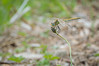 Sympetrum fonscolombii (Quentin Beautes) Tags: sympetrumfonscolombii dragonfly libellule