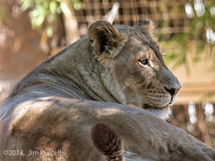 The watchful lioness. (Jim Purcell) Tags: america arizona art digital mediumformat pentax645z pimacounty smcpentaxa645300mmf4edif summertime tucson usa animals chordata mammalia carnivora feliformia felidae pantherinae panthera leo zoo reidparkzoo