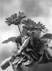 Botanica 6 (All Aspects of Photography) Tags: voigtlander bergheil 9x12 large format film ilford fp4 pmk pyro floral flower botanical nature cactus black white analog monochrome