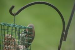 Common Flicker in the Backyard - May 2018 (Saline Michigan) (cseeman) Tags: commonflicker commonyellowshaftedflicker yellowshafted cold suetfeeder feeder birds michigan saline backyard woodpecker commonflicker052018 dirtbath flickerdirtbath