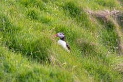 [vestmannaeyjar] (a.ghost.apart) Tags: iceland vestmannaeyjar westmanislands puffin puffins nature