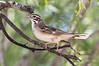 Lark Sparrow - Chondestes grammacus (J Centavo) Tags: lark sparrow chondestes grammacus chondestesgrammacus
