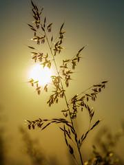 Gras im Gegenlicht (Horst Husheer Fotografie) Tags: sonnenuntergang morgenlicht morninglight makro nature macro natur gras sonnenaufgang sunrise sunset sun gegenlicht bokeh