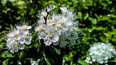 All Natural HMM! (Uup115) Tags: macromondays allnatural hmm lumia1520 cameraphone flower branch bokeh