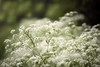 A hedgerow of white (Chris Johnston Photography) Tags: wildflowers uk spring k1 pentaxk1 135mm samyang135mm f2 fields