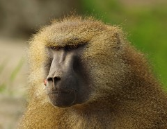 Baboon (15) (Simon Dell Photography) Tags: baboon baboons monkeys cute funny babys young male female adults yorkshire wildlife park doncaster uk england spring day images high res animals zoo captive rare wild life simon dell photography tog 2018 may sunny detail