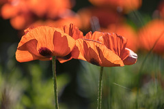 In memory (mclcbooks) Tags: flower flowers floral poppies poppy denverbotanicgardens colorado spring