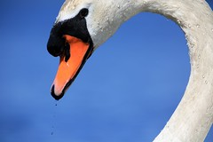 Muta Swan (douwesvincent) Tags: mute swan water white close nature wild blue shape hart orange look drop photo capture bill face gravity sun