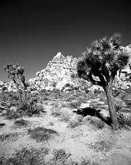 Classic Old West (Scott Holcomb) Tags: joshuatreenationalpark california asahipentax6x7 supermultcoatedtakumar6x714575lens hoyahmc82mmogfilter ilforddelta100profilm blackwhite 120film mediumformat 6x7 epsonperfectionv600 photoshopdigitalization