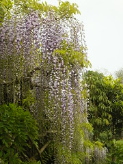 Wisteria (Cornishcarolin. Stupid busy!! xx) Tags: cornwall httpswwwnationaltrustorguktrelissick flowers wisteria nature