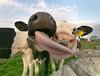 Licking cow (JohnB's photos) Tags: cow lick close up irix 11mm nikond610