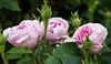 Moosrosen (schmidtvossloch) Tags: moos rose garten sommer natur nikon