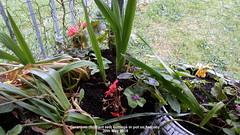 Geranium (Brilliant red) cuttings in pot on balcony 30th May 2018 (D@viD_2.011) Tags: geranium brilliant red cuttings pot balcony 30th may 2018