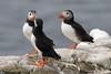 Puffin (NTG842) Tags: inner farne island northumberlinad uk puffin sea birds shag cormorant guillimots razorbills gulls kitywakes terns