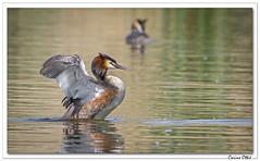 Beau Grèbe huppé. (C. OTTIE et J-Y KERMORVANT) Tags: nature animaux oiseaux grèbe grèbehuppé lac suisse