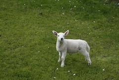 Sunnfjord (dese) Tags: fjaler may202018 may mai 2018 sunnfjord sognogfjordane vår spring primavera vestlandet lam lamb norway