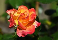 DSC_0088 (PeaTJay) Tags: nikond750 sigma reading lowerearley berkshire macro micro closeups gardens outdoors nature flora fauna plants flowers rose roses rosebuds