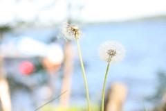 IMG_9909 Maskrosor vid Örs Brygga (HAKANU) Tags: sweden småland helgasjön ör öhr örsbrygga bridgeoför lake nature dandelion dandelions overblown flower flowers seeds spread fly spreading flying sowing