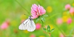Papillon Gazé (Dominique Dufour) Tags: butterflies papillons nature macrophoto proxiphoto bokeh fleurdetrèfle trèfle dominiquedufourphoto dominiquedufourflickr domdufour fujis5pro papillongazé gazé aporia crataegi aporiacrataegi