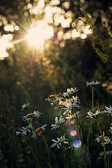 Summer Nights (Tiara Rae Photography) Tags: daisy daisies flowers sun sunburst rays sunrays flower wildflowers plants nature omaha nebraska standing bear lens flare golden hour