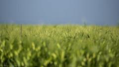 The wind that shakes the barley (katrin glaesmann) Tags: barley gerste green field getreidefeld