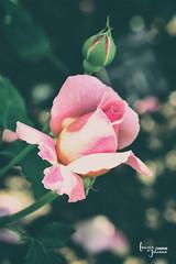 Pink Rose bud in the sunglight - Kew Gardens (creative) (Lauren Taliana) Tags: roseflower pinkrose elements nikon nikkor flickr rose rosebud sunlight flower floral flora fleur fiore bloom petal rosepetal closeup macro kewgardens plant nature outside