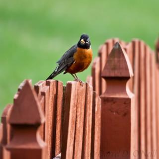 Robin on a Fence 6