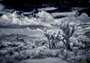 Joshua Tree, California (Wes Pettus) Tags: joshuatree nationalmonument desert travel landscape bnw infrared clouds