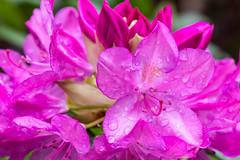 Rhododendron in full bloom (norasphotos4u) Tags: canon5dmkiv canonef100400f4556iiusm macro ©noraleonard pink flowersplants canonef100mmf28lisusmmacro social flickr