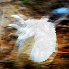 Rockin' the Sky (Karen Kleis) Tags: arteffects photomanipulation challenge texture egret sky rocking snowyegret sharingart bird birdart hypothetical shockofthenew