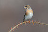 brambling (leonardo manetti) Tags: uccello bird nature red winter colours naturephotography field natural nikkor countryside green morning black albero dawn sunrise brambling nikon d850 legno macro animale cielo erba