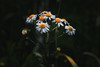 Daisy (anderswetterstam) Tags: flowers nature spring seasons changes beginninings dark fragility freshness growth floral botanical