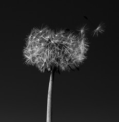Dandelion seed let loose  monochrome (PDKImages) Tags: dandelion plants floating seeds spring wildlife macro nature outdoors