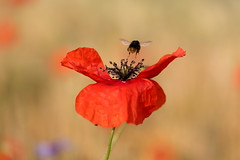 IMG_0645 (geraldtourniaire) Tags: eos6d ef ef28100lmacroisusm natur nature insegt mohn macro 6d 100l